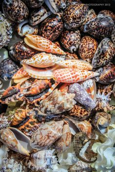Sea Shells www.annamariaislandhomerental.com Facebook: Anna Maria Island Beach Life Twitter: AMIHomerental