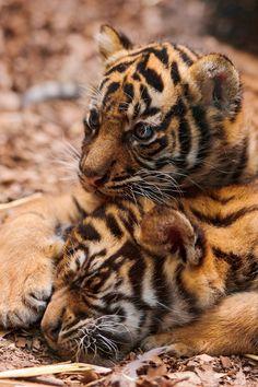 Playing cubs II by (Tambako the Jaguar)