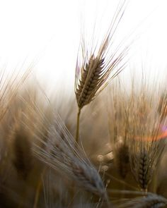 Harvest Flare 8x10 fine art photo Rustic countryside photography.  AmandaRaeK  $24