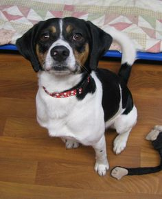 BUDDY...LISBON, OHIO..Meet Buddy a Petfinder adoptable English Springer Spaniel Dog | Lisbon, OH | Hi there. My name is Buddy. I am about 2 years old and I weigh about 30 lbs.I was from the East...