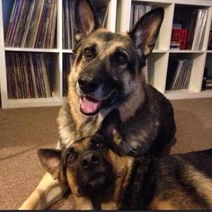 """GSDs Hope you're doing well.From your friends at phoenix dog in home dog training""""k9katelynn"""" see more about Scottsdale dog training at k9katelynn.com! Pinterest with over 20,600 followers! Google plus with over 160,000 views! You tube with over 500 videos and 60,000 views!! LinkedIn over 9,200 associates! Proudly Serving the valley for 11 plus years"""