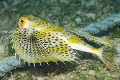 goatfish saltwater aquarium fish - Google Search