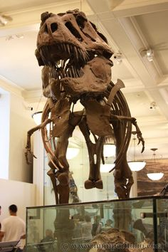 Tyrannosaurus rex at the American Museum of Natural History, NYC (I grew up with this guy -- brings it all back!)