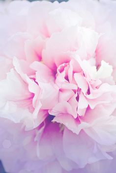 Japanese peony flower. Peony extract is a main ingredient in @tatchabeauty skincare.