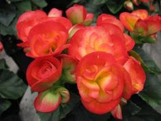 How to Grow Flowering Winter Begonias
