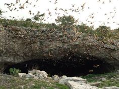 Frio bat cave in Texas Hill Country 10 - 12 million Mexican free-tail bats pour out of the cave on their way to dinner.