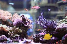 Always have loved tanks that can be seen from either side Saltwater Aquarium Fish, Saltwater Tank, Reef Aquarium, Freshwater Aquarium, Marine Fish Tanks, Marine Tank, Marine Aquarium, Nano Reef Tank, Reef Tanks