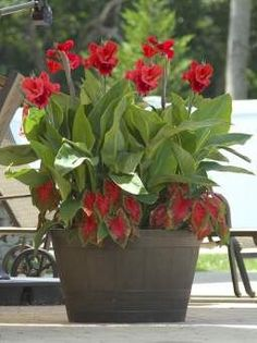 Red cannas and calad