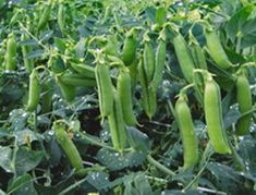 Plant These 15 Delicious Vegetables That Can Grow Without Full Sun – Gardeners' Guide Permaculture, Growing Peas, Organic Seeds, Green Lawn, Companion Planting, Growing Vegetables, Garden Beds, Vegetable Garden, Okra