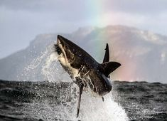 A great white shark breaches out of the water to attack