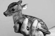 teeny tiny deer