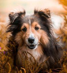 Rachel Omnès Shetland Sheepdog Dog Shetland Sheepdog, Sheltie, Corgi, Fox, Animals, Corgis, Animales, Animaux, Animal