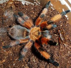 Poecilotheria rajaei | New giant Tarantula specimen found in Sri ...
