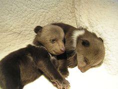 Twin Bear Cubs