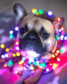 So cute but you probably shouldn't wrap your dog in Christmas lights