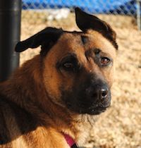 Dutch is a one ear up, one ear down 1-2 y/o German Shepherd. She's a little timid soul, but is so kind and gentle once she knows you. This girl needs a loving home to show her she can trust & love again. She'd love to have a best friend like you. For adoption information, email: dogs@phillypaws.org