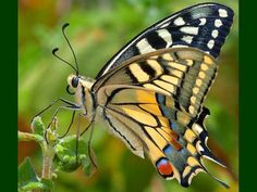 Beautiful Butterflies   Beautiful Butterfly Wallpaper