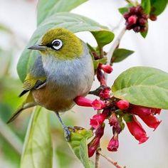"""Résultat de recherche d'images pour """"les oiseaux d'australie"""""""
