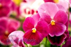 Stock Photo titled: Two Pink Pansy Flowers In A Crowd Of Pink Pansies, unlicensed use prohibited
