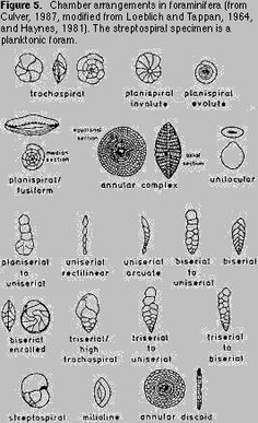 fcfd483b7ec6 19 Best Foraminifera images