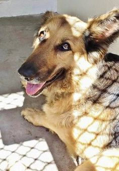 Gorgeous shepherd tries to stay comfortable at hot, crowded animal control, Homeless shepherd in need of a home