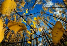 looking for photographs of aspen trees for a client....LOVE this one...!
