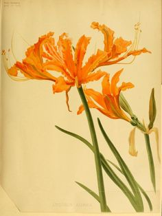 Lycoris aurea (Hurricane Lily or Cluster Amaryllis). Plate from 'The Garden' (1895). Office - Covent Garden, London.  archive.org