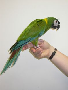 Macaw - Yellow Collar Colourful Birds, Big Bird, Parrots, Beautiful Birds, Pet Birds, Eagles, Ink, Yellow, American