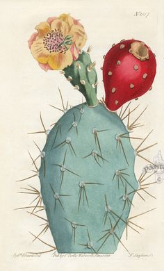 Cactus illustration - date unknown Art And Illustration, Illustration Cactus, Illustration Botanique, Botanical Illustration, Flower Illustrations, Vintage Botanical Prints, Botanical Drawings, Antique Prints, Botanical Art