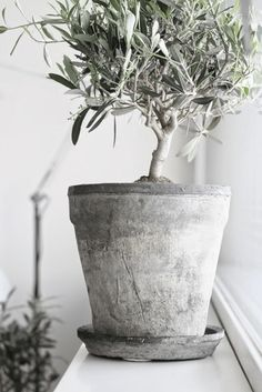 olive tree in concrete pot, sherwin williams acier, olive green, olive gray, sage green, army green, gray-green, green-gray