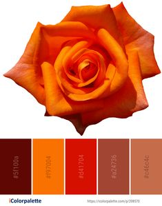 Color Palette Ideas from Flower Rose Orange Image