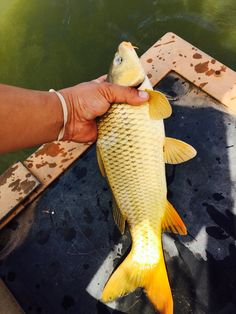 Caught this Goldie while crappie fishing at lake Hefner OKC  Nick G.