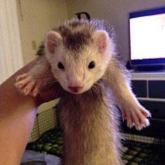 Po the Panda Ferret.....  ferret tube     https://www.pinterest.com/pin/241998179954677423/