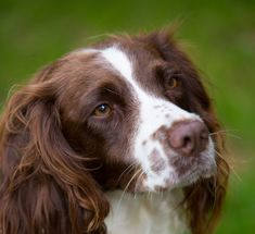 English Springer Spaniel Guide – Learn About the English Springer ...