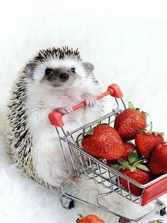 fluffy Hedgehog shopping for strawberries---adorable! : Cute fluffy Hedgehog shopping for strawberries---adorable!Cute fluffy Hedgehog shopping for strawberries---adorable! : Cute fluffy Hedgehog shopping for strawberries---adorable! Baby Animals Super Cute, Cute Little Animals, Cute Funny Animals, Hedgehog Pet, Cute Hedgehog, Baby Animals Pictures, Cute Animal Pictures, Tier Fotos, Fluffy Animals