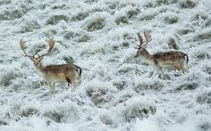 Deer graze in a frosty landscape at Petworth Park in Sussex  Picture: Christopher Pledger