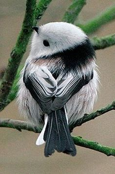 A Codibugnolo (Long-tailed Tit) one of the worlds cutest birds. Kinds Of Birds, All Birds, Cute Birds, Pretty Birds, Little Birds, Beautiful Birds, Animals Beautiful, Animals Amazing, Majestic Animals