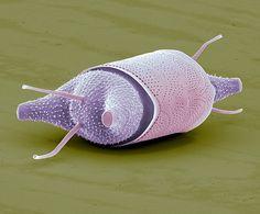 Diatom, Sem Print by Steve Gschmeissner
