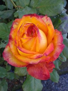 Rose 'Magma Freelander'  My husband picked this one!  Photo by Jan R.Fuller