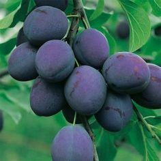 EFECTUL MIRACULOS AL FRUNZELOR DE PRUN!... Plum, Fruit, Vegetable Garden, Orchards