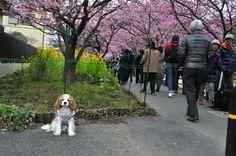 ロビンくん/河津の桜も見てきました。まだまだ寒い季節なのに満開の桜を見て心も温まりました。 ロビンはピンクの桜や、黄色の菜の花はどんな感じで見えているのでしょうか?