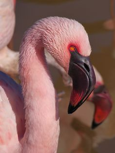 Lesser Flamingo by G3X Express