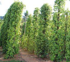 Invest in a Pepper Farm in Cambodia