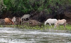 The threatened Salt River wild horse herd, Tonto National Forest, Arizona.  http://www.saltriverwildhorses.com/_Pages/_Action.html