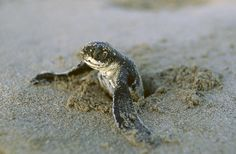 I'm a sucker for those nature shows about turtles.  And when the babies are flip-flapping their way to the sea?  I am cheering them on and swearing at the birds trying to eat them.  I love baby turtles.