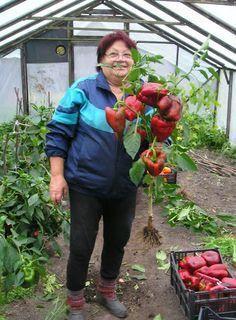 1.Слишком быстроТоропиться с посадкой нельзя. Высадив растения в открытый грунт до того как температура воздуха достигнет 20-25° С, получим задержку в развитии и недоберем урожай. Высаживать рано …