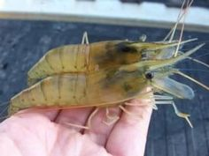 How to grow your own Shrimp! I could do this!!!! I wonder if I could even winter some over in the house in an aquarium?