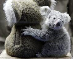 FOTOSPECIAL. Koalababy knuffelt troeteldier voor weging (1) - De Standaard