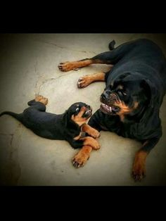 """Get excellent ideas on """"Rottweiler puppies"""". Cute Puppies, Cute Dogs, Dogs And Puppies, Beautiful Dogs, Animals Beautiful, Cute Baby Animals, Funny Animals, Rottweiler Puppies, German Rottweiler"""
