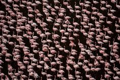 Photographed from a helicopter, Kenya's Lake Magadi, thousands of flamingos descend to feed on the algae-rich waters. This photograph is available for purchase in two different sizes, both limited to ten in edition.  #artphotographygallery #aerial #photography #flamingoes #wildlife #interiordesign Photography Gallery, Aerial Photography, Wildlife Photography, Fine Art Photography, Learn Photography Online, Flamingo Pattern, Photographic Prints, Africa, The Incredibles
